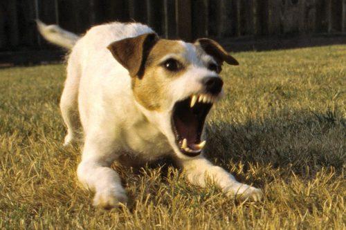 Secretul NEȘTIUT de nimeni despre agresivitatea dominantă a puilor de câine! Uite ce trebuie să faceți și cum să vă purtați cu ei