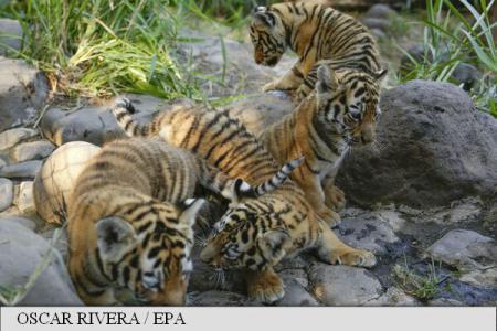 Un centru zoologic din El Salvador își prezintă puii de tigru bengalez