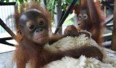 Au dispărut din sălbăticie, după ce au fost folosiți drept animale de companie exotice