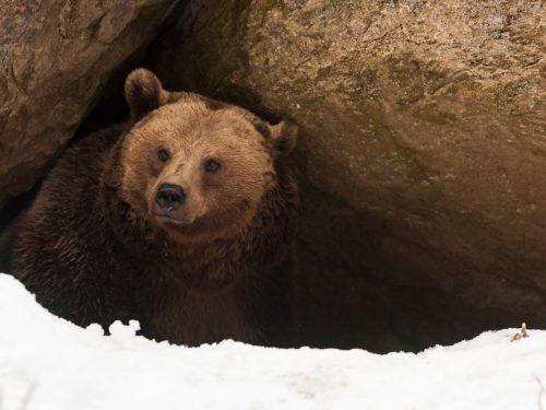 Ziua ursului (Stretenia) sau Ziua marmotei (Groundhog Day)