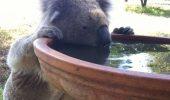 DECIZIE de ultimă oră! Urșii Koala mor de SETE!  DETALII INCREDIBILE