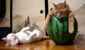Cele mai leneșe pisici din lume, în IMAGINI HAIOASE!