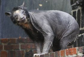TOPSHOTSA Spectacled bear named Dolores walks around her enclosure at the zoo in the eastern German city of Leipzig on November 4, 2009. The animal is suffering from hair loss. AFP PHOTO DDP /  SEBASTIAN WILLNOW  GERMANY OUT
