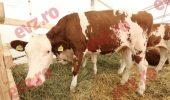 ALERTĂ! Vaci bolnave de TBC. Mai multe focare au fost CONFIRMATE