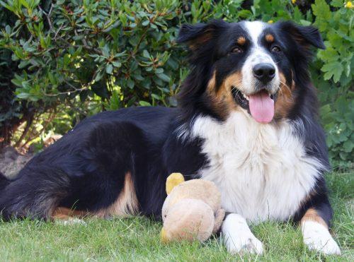 Câine talentat ca acesta sigur nu ai mai vâzut. Execută perfect toate comenzile – VIDEO