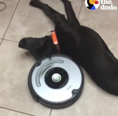 VIDEO AMUZANT! Acest cățel doarme ca un bebeluș. Privește-i reacția când își face apariția un aspirator!