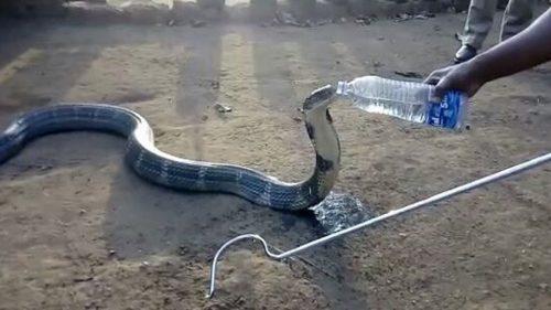 Gestul NEAȘTEPTAT al unei COBRE! Ce se întâmplă când i se dă să bea apă I VIDEO INCREDIBIL
