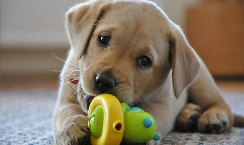 Alertă! Se impun noi standarde de siguranță pentru produsele de mestecat și jucăriile pentru câini