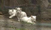 Trei pui de leu fac furori la o gradină zoologică din Budapesta – FOTO