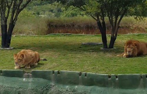 Turiști ATACAȚI de o LEOAICĂ, la Zoo! ATENȚIE! IMAGINI EXPLICITE