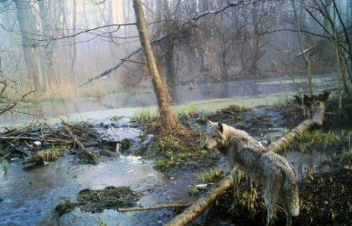 Au fost UIMIȚI atunci când au descoperit ce se întâmplă cu lupii de lângă Cernobîl