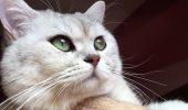 Știai că această pisică este socotită drept CEA MAI VECHE RASĂ din lume?