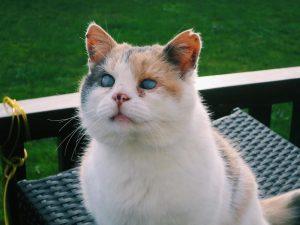 Faceți cunoștință cu Stevie, o pisică oarbă care iubește călătoriile