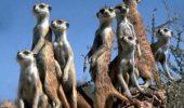 SSSTTTT!!!… Nu faceți gălăgie! O suricată se chinuie să-și facă siesta! VIDEO