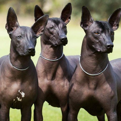 Rasă de câine ANTICĂ, pe care e puțin probabil să o știți | FOTO