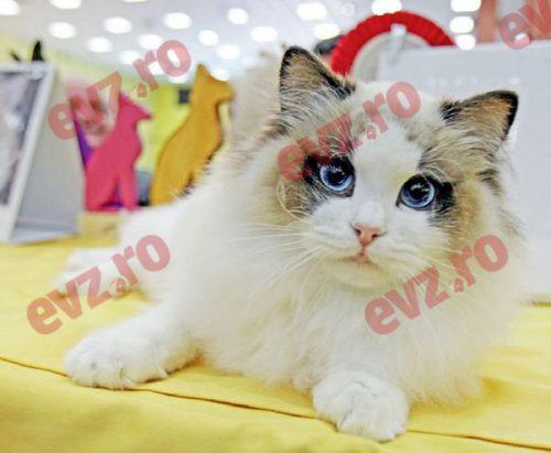 Cele mai frumoase FELINE, premiate la marea pisicăreală de primăvară-SofistiCAT