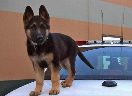 Cel mai drăguț câine polițist, în acțiune. VIDEO AMUZANT