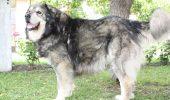 Uite care este singurul câine național românesc cu pedigree!