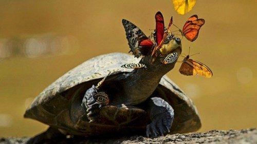 De ce stau fluturii pe lângă broaştele ţestoase amazoniene?