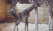 Girafa care a cucerit toți internauții! Dacă nu ai avut ocazia să o vezi în direct cum naște, noi avem înregistrarea I VIDEO