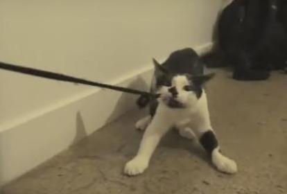 Râzi cu lacrimi! Pisica asta se pricepe mai bine la dresaj decât stăpânul său! Uite ce face