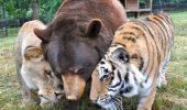 PRIETENIE ce nu ține cont de specie! Un leu, un tigru și un urs sunt de nedespartit! I video