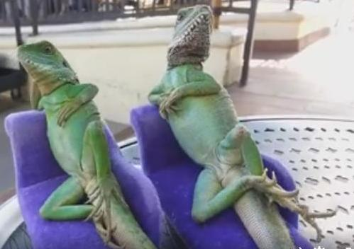 Inedit! Cum se relaxează două șopârle
