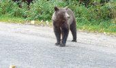 De ce nu reușesc autoritățile să oprească ursul ce se plimbă pri centrul Brașovului
