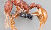 O specie de FURNICI CANIBALE a putut fi observată pentru prima oară. Cercetătorii au fost uimiţi
