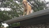 Stăpânul a explicat de ce câinele lor stă pe acoperiș. Huckleberry face senzație pe Internet!