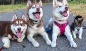 UIMITOR! 3 Husky și o pisică, cei mai buni PRIETENI! Nimeni nu credea că pisica va mai trăi