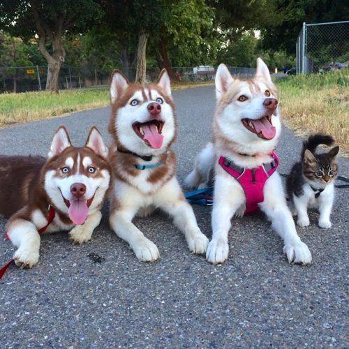 3 Husky și o pisică, cei mai buni PRIETENI!