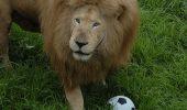 Triton, un leu talentat, pasionat de fotbal! VIDEO