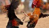 Luptele de cocoși, o afacere SÂNGEROASĂ ce ar trebui să dispară I GALERIE FOTO