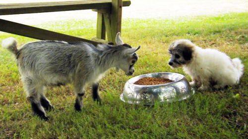 Momentul în care un ied și un cățel se întâlnesc pentru prima oară. Interacțiunea lor este EXTREM de dulce