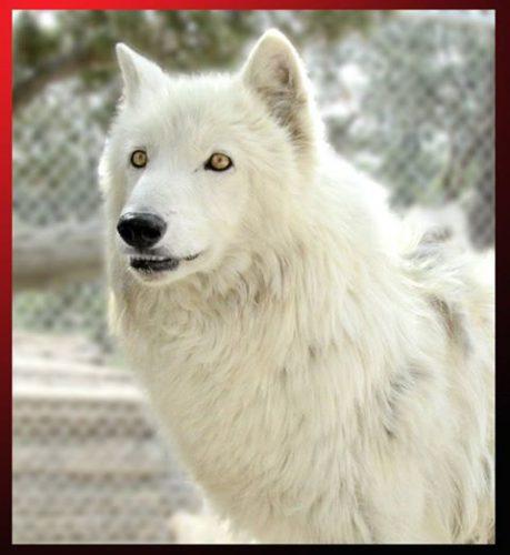 """A murit lupul care l-a portretizat pe Ghost în serialul """"Game of Thrones"""""""