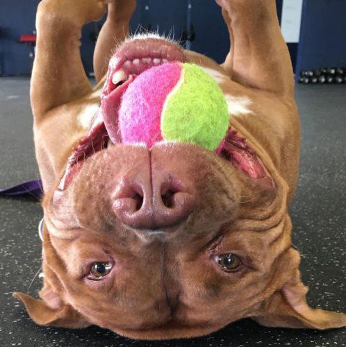 Un Pit Bull zâmbește toată ziua de când a fost adoptat