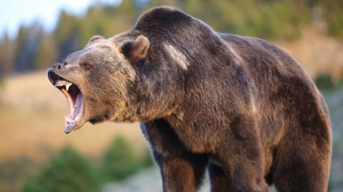 Doi tineri, ATACAȚI de un urs în Harghita. Detalii despre INCIDENTUL GRAV
