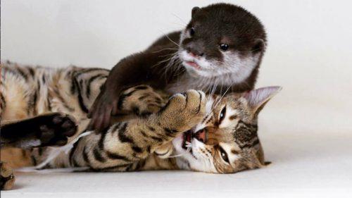 Clipul zilei! Reacția adorabilă a unei vidre când s-a întâlnit pentru prima dată cu o pisică I VIDEO