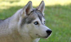 Te-ai gândit vreodată cât de inteligent poate fi un câine? Acest husky a uimit lumea cu istețimea lui