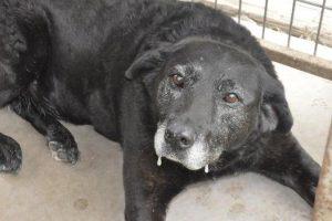 Labradorul care a mers 50 de kilometri până la stăpânul care o ABANDONASE, dar nu a vrut să-l vadă. Uite ce s-a întâmplat cu el