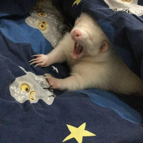El este cel mai leneș animal din lume. Ar da orice să se întoarcă la culcare!