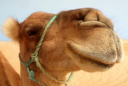Două cămile au blocat traficul în Emiratele Arabe Unite. Vezi de ce!