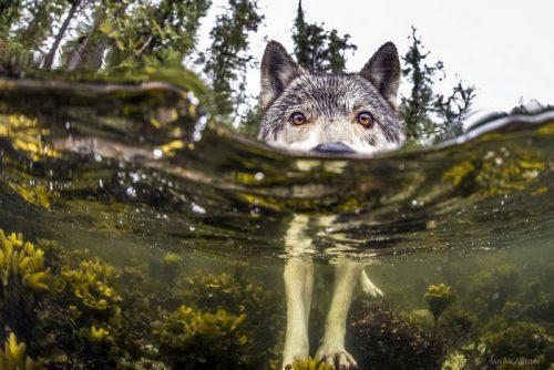 Faceți cunoștință cu cei mai NEOBIȘNUIȚI LUPI: înoată peste 10 km și vânează pești I Galerie FOTO