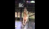 Vezi câte BERI bea pe nerăsuflate UN PURCEL! I VIDEO