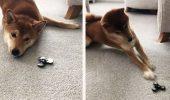 """Cum reacționează un cățel la o jucărie """"spinner""""I VIDEO AMUZANT"""