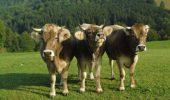 Trei vaci