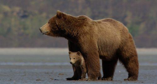 Federația pentru Protecția Animalelor trage un SEMNAL de ALARMA! Ce se va intampla cu ursii care omoara oameni