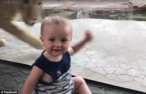 Moment de NEUITAT din viața unei mame. Un LEU de la Zoo i-a ATACAT copilul! ATENȚIE! VIDEO