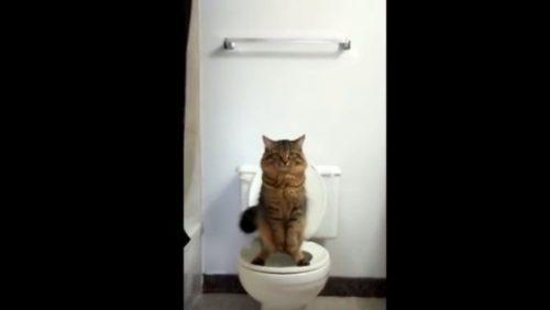 Cum înveți PISICA sa foloseasca WC-ul? VIDEO